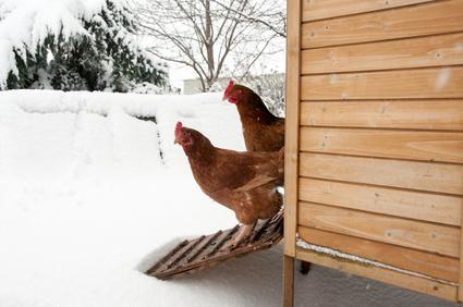 Atteggiamento inverno - Intrattenimento dei polli d' inverno
