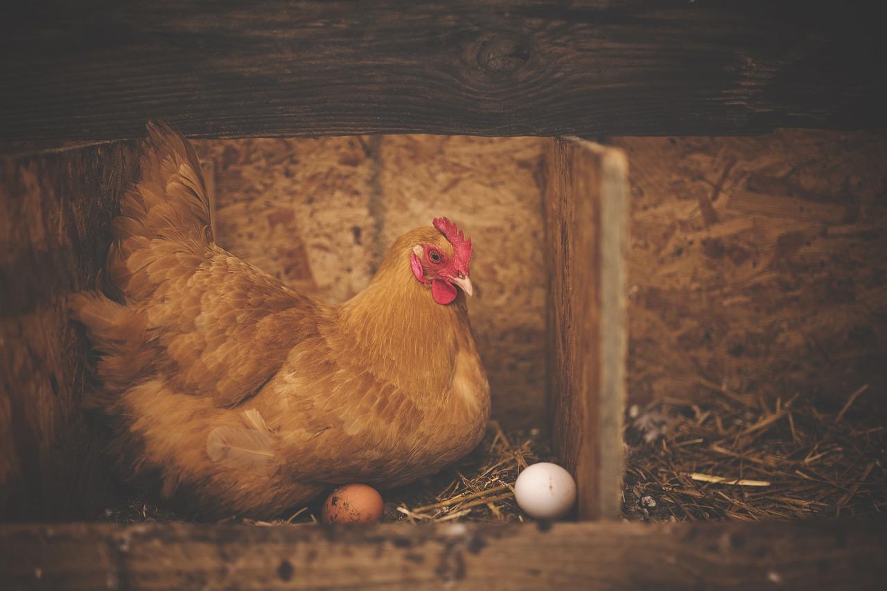 Pollaio per galline - atteggiamento